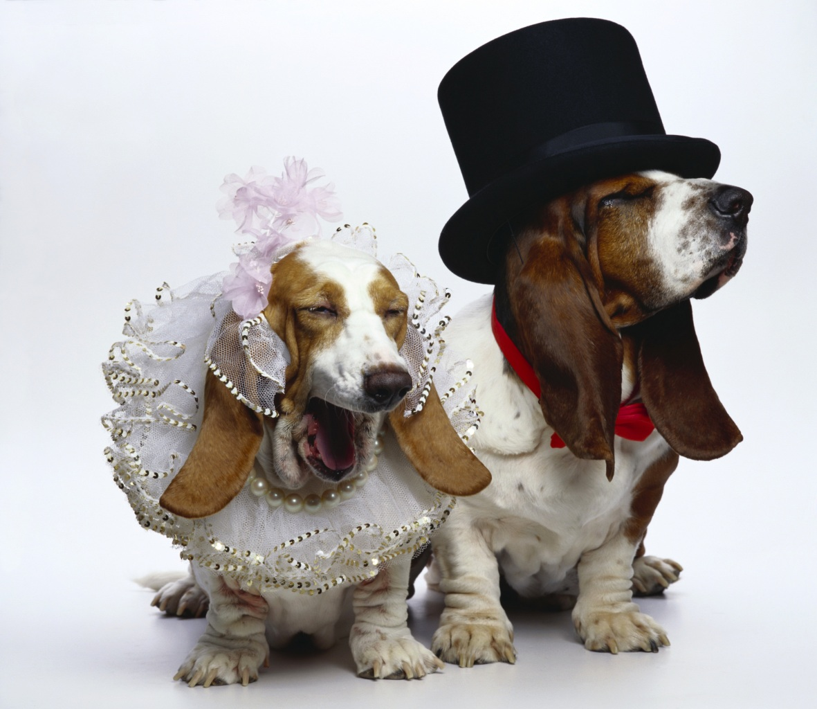 Dogs_Basset_Hound_Two_442503.jpg
