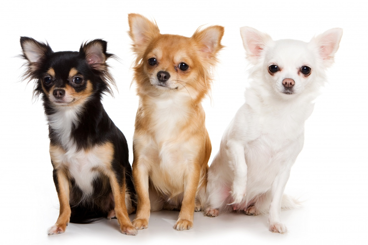 Dogs_Chihuahua_Three_3_441470.jpg