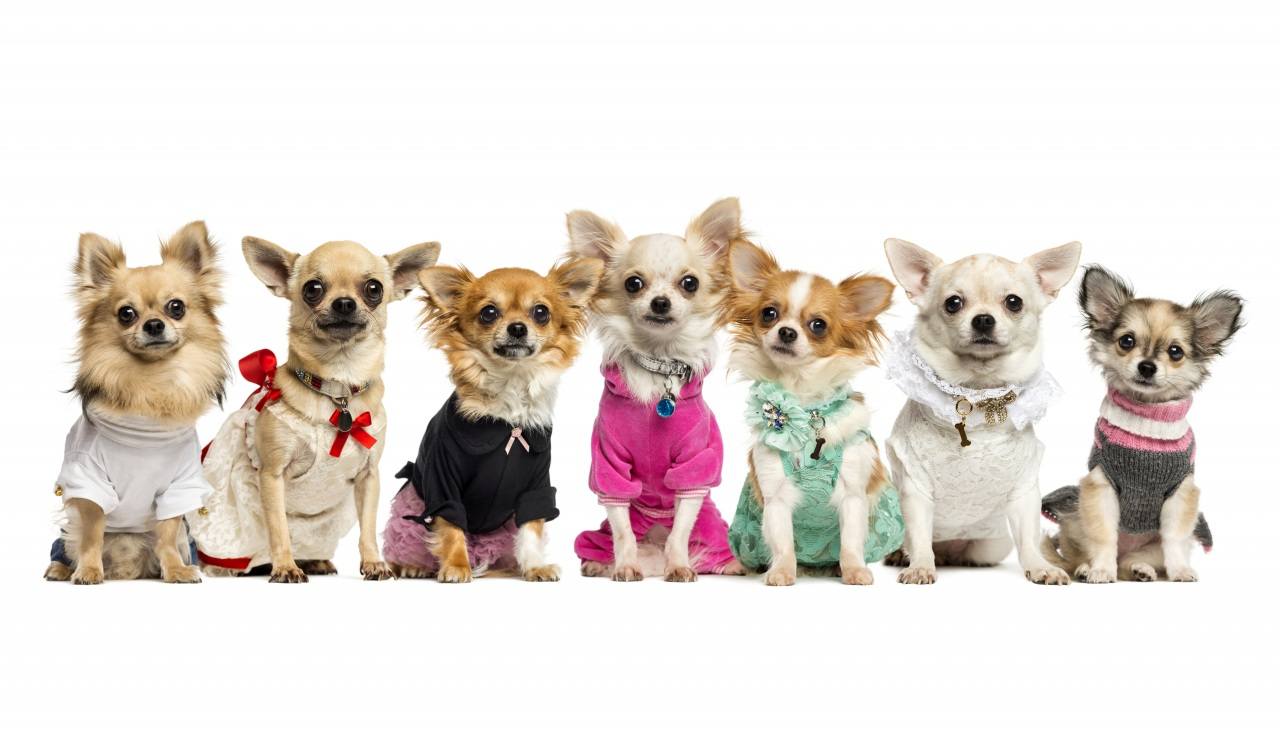 Dogs_Chihuahua_Uniform_440709.jpg